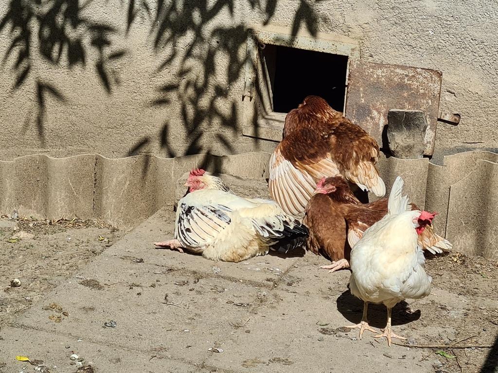 Vier Hennen beim Sonnenbaden vor dem Eingang des Hühnerhauses.