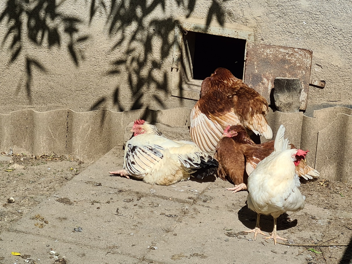 Montagsfotos: Ich wollt, ich wär ein Huhn.